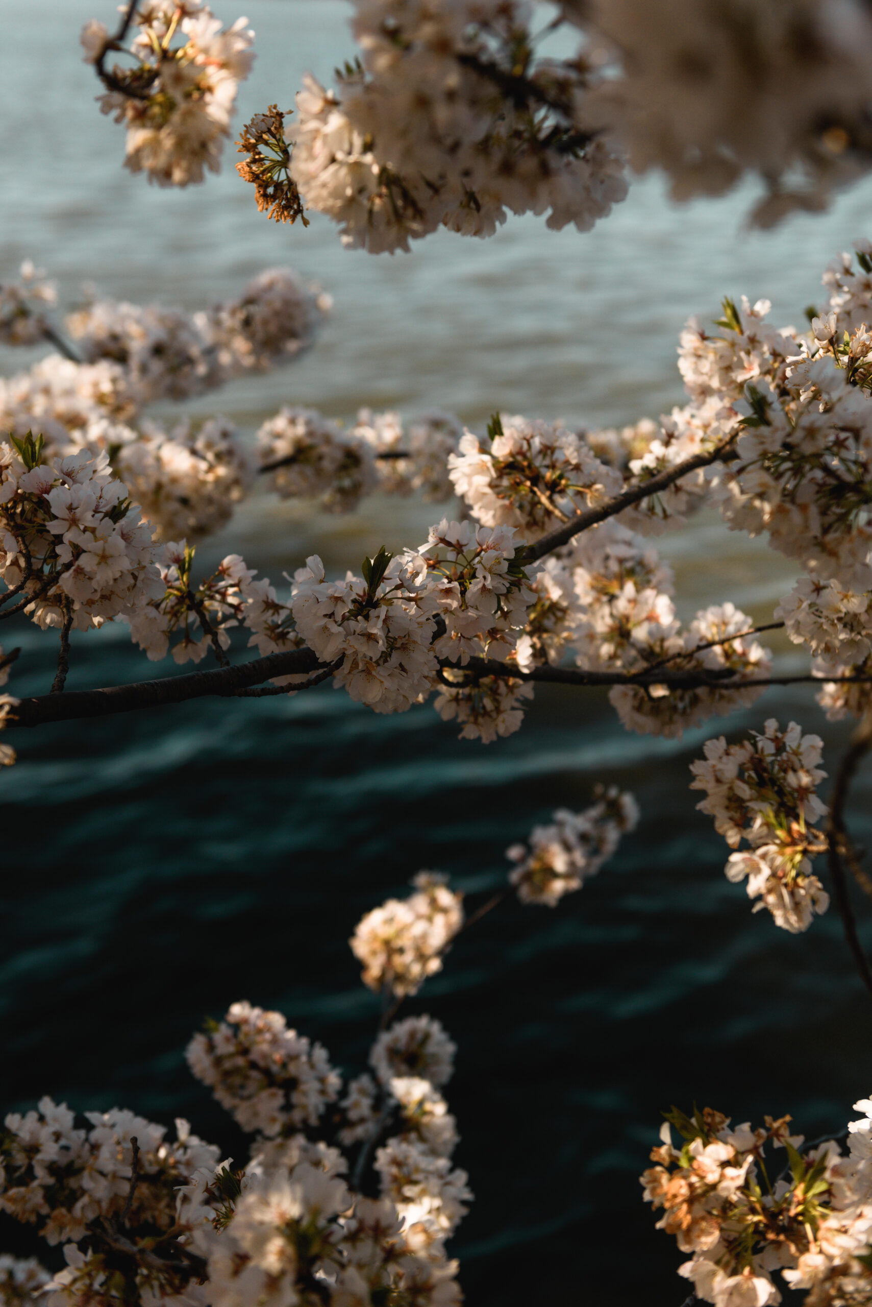 Cherry Blossoms Around the Tidal Basin + Digital Wallpaper